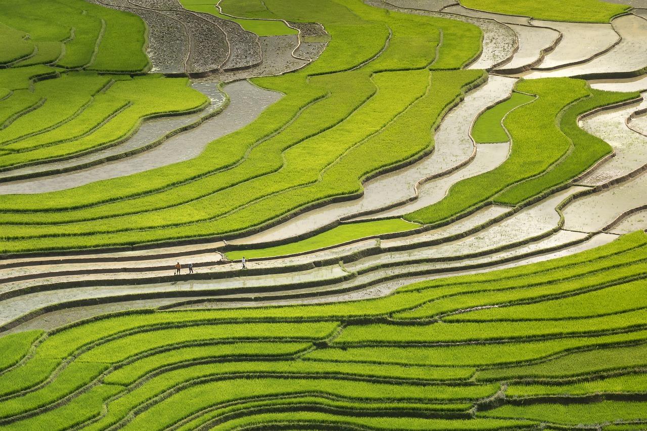 season, pour water, transplanted rice